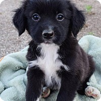 Adopt A Pet :: Suki Pup - Kya - San Diego, CA