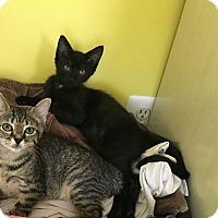 Domestic Shorthair Kitten for adoption in Virginia Beach, Virginia - Solo