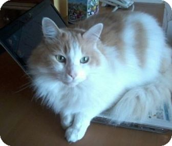 Maine Coon Cat for adoption in Denver, Colorado - Henry
