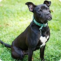 Adopt A Pet :: Dozer - Woodstock, GA