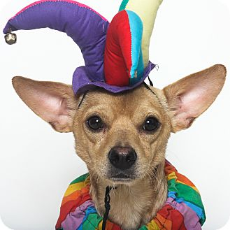 Chihuahua Mix Dog for adoption in Stockton, California - Wally