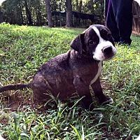Adopt A Pet :: Diesel - Allentown, PA
