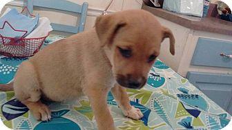 Beagle Mix Puppy for adoption in greenville, South Carolina - Boston