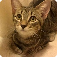 American Bobtail Cat for adoption in Tyler, Texas - AA-Payton