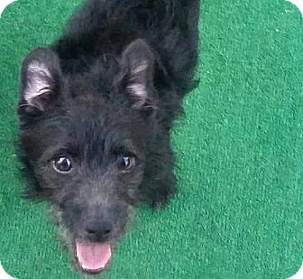Terrier (Unknown Type, Small) Mix Dog for adoption in Tijeras, New Mexico - Brady