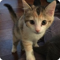 Domestic Shorthair Kitten for adoption in Columbus, Indiana - Hai