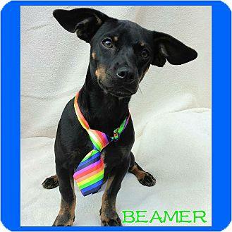 Miniature Pinscher Mix Puppy for adoption in Charlotte, North Carolina - Beamer
