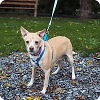 Chihuahua Mix Dog for adoption in Whitehall, Pennsylvania - Naomi