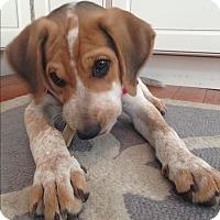 Adopt A Pet :: Porter - Ardmore, PA