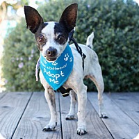 Chihuahua/Rat Terrier Mix Dog for adoption in Pacific Grove, California - Bunny