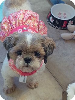 Shih Tzu Dog for adoption in Honeoye Falls, New York - Brooke