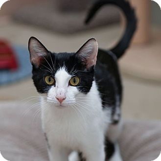 Domestic Shorthair Cat for adoption in Columbia, Illinois - Bonnie