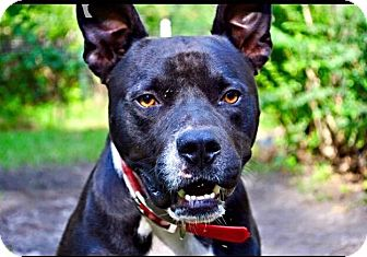 Pit Bull Terrier Mix Dog for adoption in Jacksonville, North Carolina - Brutus