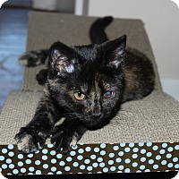 Domestic Shorthair Kitten for adoption in Media, Pennsylvania - Cleo (Winter Special)