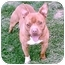 Photo 1 - American Pit Bull Terrier Dog for adoption in Gainesboro, Tennessee - JoeJoe