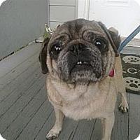 Adopt A Pet :: Daisy - Cumberland, MD