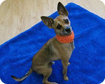 Chihuahua Italian Greyhound Mix Dog For Adoption In High Point North Carolina Chico