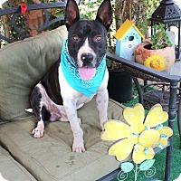 Adopt A Pet :: Maxwell - Toluca Lake, CA