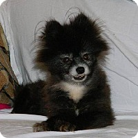 Pomeranian Dog for adoption in Hilham, Tennessee - TOOTSIE (sponsor needed)