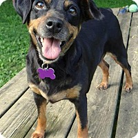 Miniature Pinscher Dog for adoption in Fairmont, West Virginia - Ruby