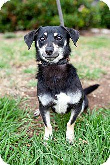 Dachshund/Chihuahua Mix Dog for adoption in San Diego, California - Wichita