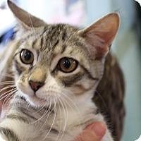 Adopt A Pet :: Bullet - Sarasota, FL