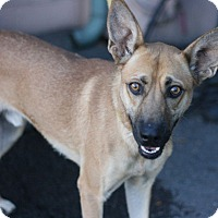 Australian Kelpie Mix Dog for adoption in Canoga Park, California - Barney