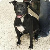 Labrador Retriever/Pit Bull Terrier Mix Dog for adoption in Minneapolis, Minnesota - Cora