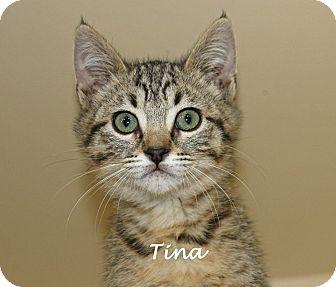 Domestic Shorthair Kitten for adoption in Idaho Falls, Idaho - Tina