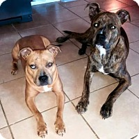 American Pit Bull Terrier/American Pit Bull Terrier Mix Dog for adoption in West Allis, Wisconsin - Paco & Sassie *Courtesy Cupid*