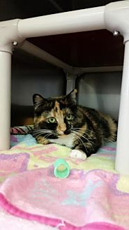 Domestic Shorthair Cat for adoption in Chippewa Falls, Wisconsin - Cali