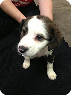 Catahoula Leopard Dog/Border Collie Mix Puppy for adoption in Norman, Oklahoma - Schandy