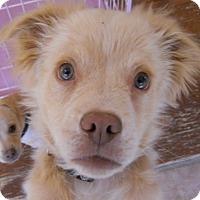 Adopt A Pet :: Bogie - dewey, AZ