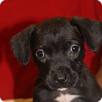 Adopt A Pet :: Kira - Waldorf, MD