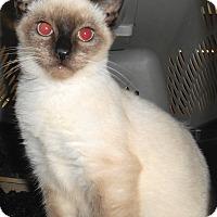 Adopt A Pet :: Koko - Chattanooga, TN