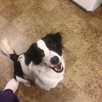 Border Collie Mix Dog for adoption in Shelbyville, Kentucky - Shelby