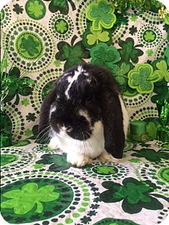 Lop-Eared Mix for adoption in Paramount, California - Barlobe