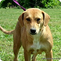 Beagle/Labrador Retriever Mix Dog for adoption in PRINCETON, Kentucky - JEWELS~1
