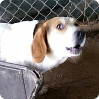 Beagle Mix Dog for adoption in Bedford, Indiana - George