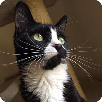 Domestic Shorthair Cat for adoption in Ellicott City, Maryland - .Miriam