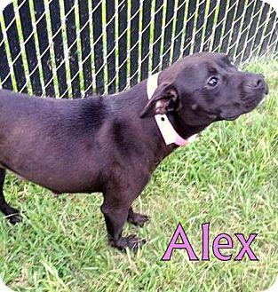 Labrador Retriever/Bulldog Mix Dog for adoption in Georgetown, South Carolina - Alex