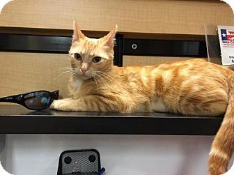 Domestic Shorthair Cat for adoption in Dallas, Texas - Clementine
