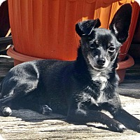 Adopt A Pet :: Rosy - Toronto, ON