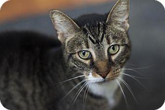 Domestic Shorthair Cat for adoption in Philadelphia, Pennsylvania - *Lilly*