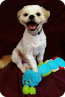 Shih Tzu Mix Dog for adoption in Urbana, Ohio - Sears Barkley