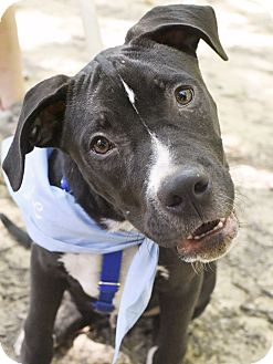 Bull Terrier Mix Puppy for adoption in Nashville, Tennessee - Yoshi