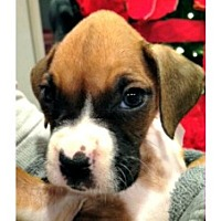 Boxer Puppy for adoption in Hurst, Texas - Claire