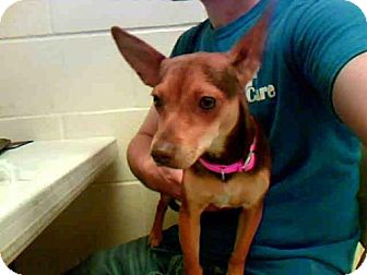 Chihuahua Dog for adoption in Conroe, Texas - LEXI
