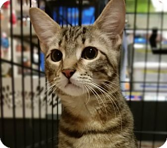 American Shorthair Kitten for adoption in Jersey City, New Jersey - Topaz