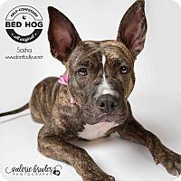 Adopt A Pet :: Sasha (Russian Litter Mom) - Wenonah, NJ